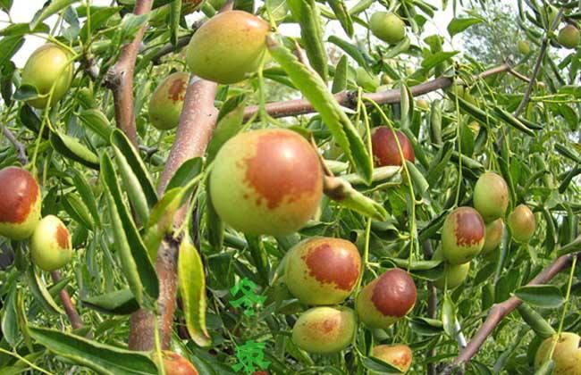 冬枣树为什么不好裁活-冬枣树