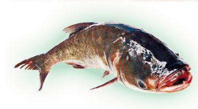 十大凶猛淡水鱼类_十大凶猛鱼类
