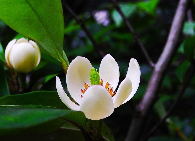 【含笑花的养殖方法】含笑花