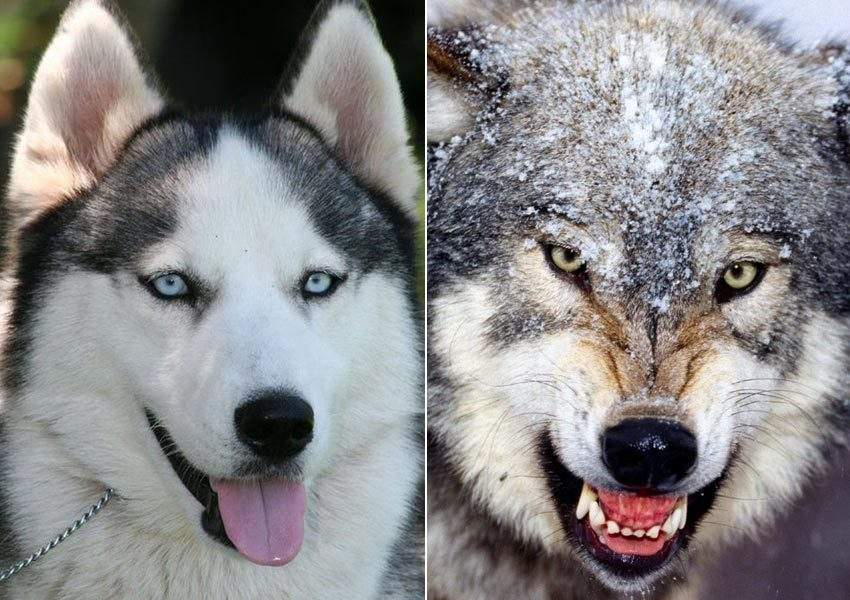 哈士奇和狼的区别图|哈士奇和狼的区别