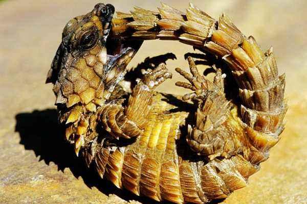【南非犰狳蜥价格】南非犰狳蜥
