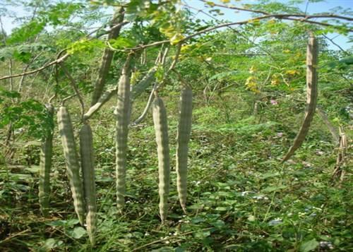 印度辣木籽有什么作用_印度辣木树