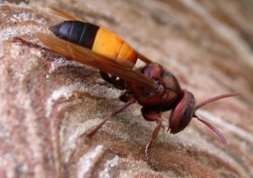 虎头蜂图片|黄腰虎头蜂