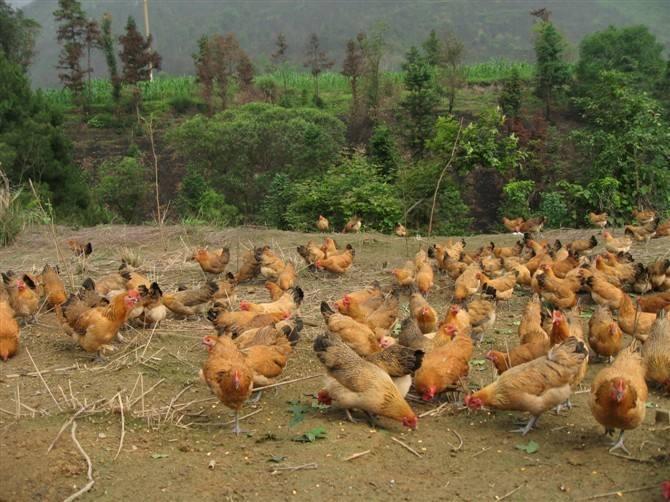 土鸡的养殖成本