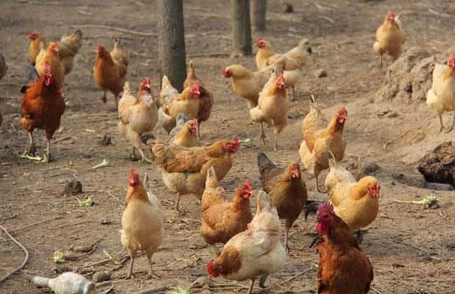 土鸡的养殖技术视频_土鸡的养殖技术