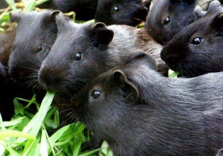 黑豚养殖技术_黑豚养殖技术精选