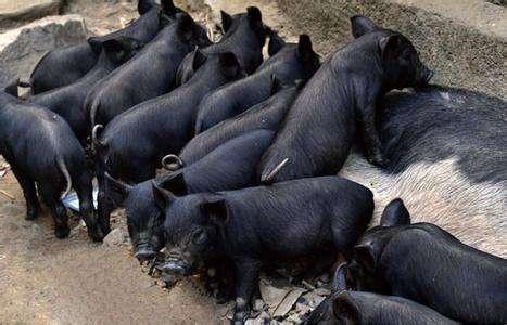 黑猪养殖基地_黑猪养殖