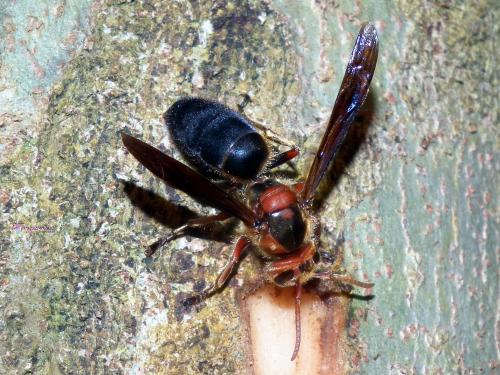 虎头蜂图片_黑腹虎头蜂