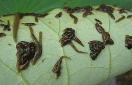 水蛭养殖骗局|何富松水蛭养殖