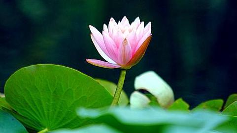碗莲的种植方法水培_碗莲的种植方法精选