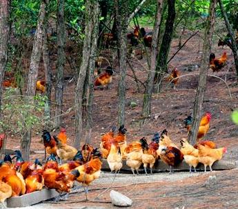 [林地养鸡实用技术视频]林地养鸡技术