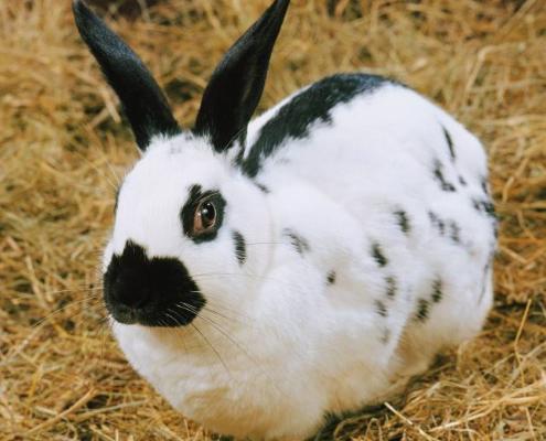 养獭兔前景如何_七彩獭兔养殖技术