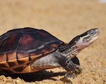 石金钱龟养殖基本方法|石金钱龟温室养殖