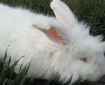 长生き竞争|长毛兔养殖介绍
