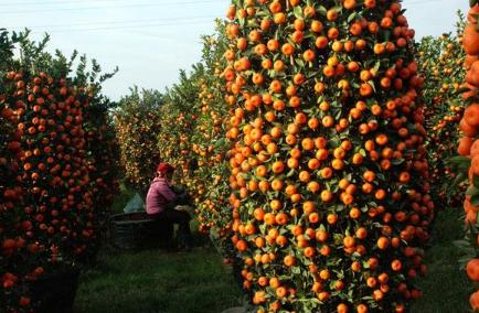 [四季桔的养殖方法和注意事项]四季桔的养殖方法和注意事项