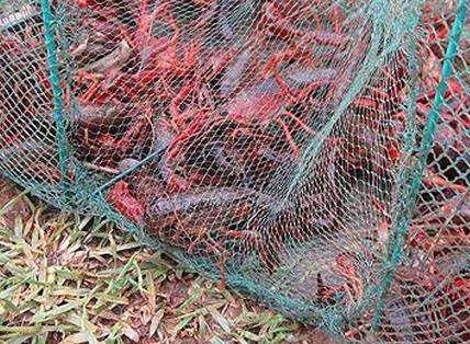 小龙虾养殖失败案例