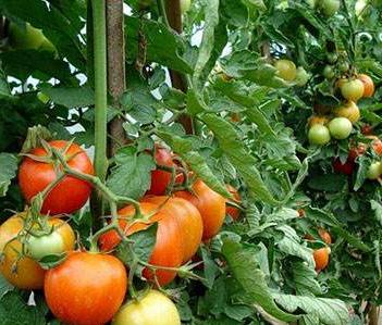 【小番茄种植技术及施肥】番茄种植技术大全