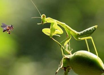 [螳螂吃什么]螳螂吃什么?