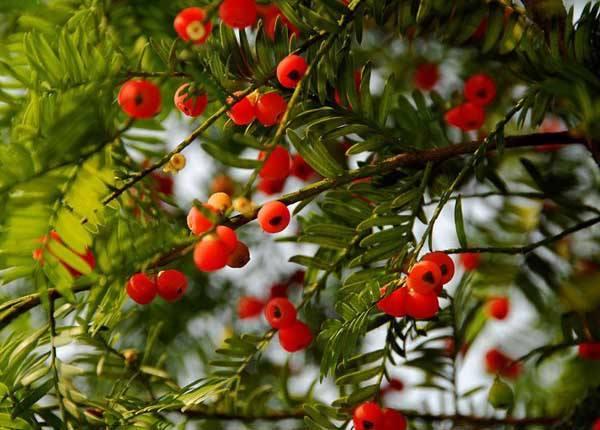 【盆栽红豆杉的养殖方法和注意事项】红豆杉的养殖方法和注意事项