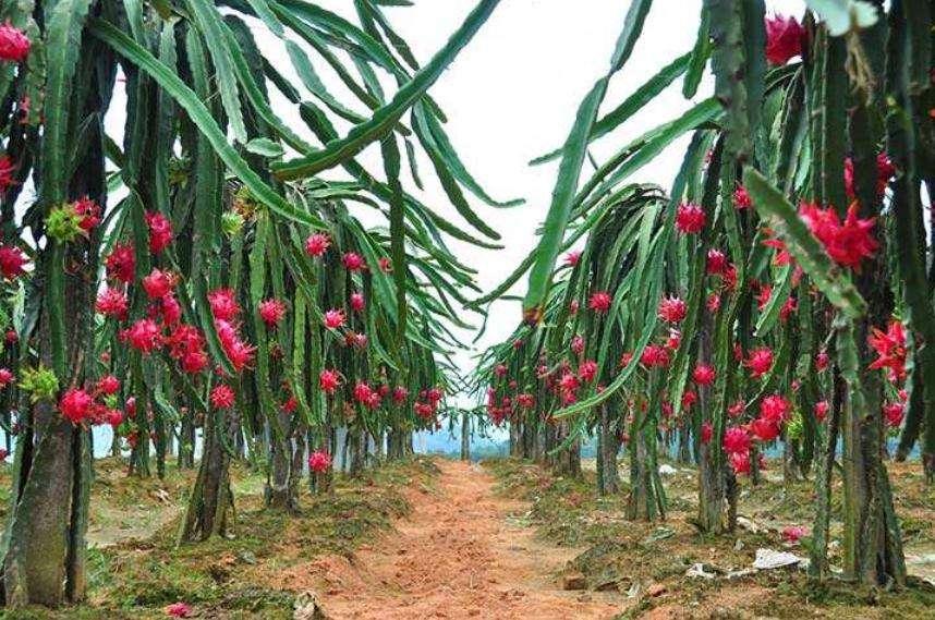 【火龙果树长什么样】火龙果树