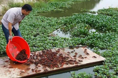 小龙虾养殖技术大全_小龙虾养殖技术要点