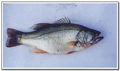 【加州鲈鱼养殖技术】加州鲈鱼饲养技术