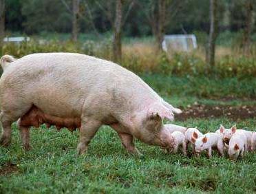 猪八戒|母猪的饲养管理介绍