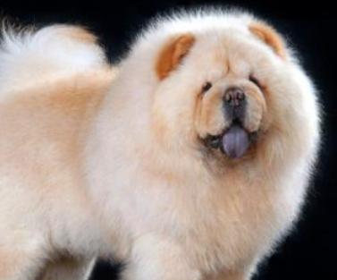松狮犬能长到多大_松狮犬能长多大