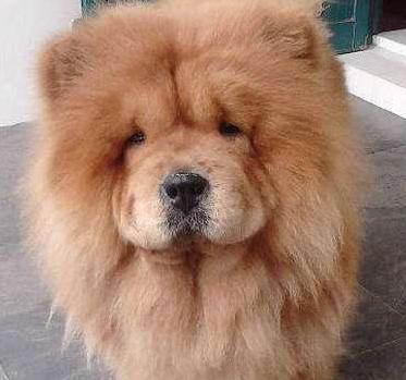 松狮吃什么狗粮比较好_松狮吃什么狗粮好