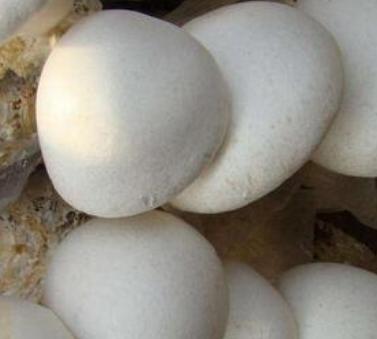白灵菇多少钱一斤_白灵菇价格多少