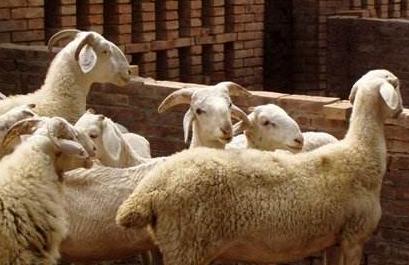 [小尾寒羊养殖讲座]小尾寒羊养殖方法