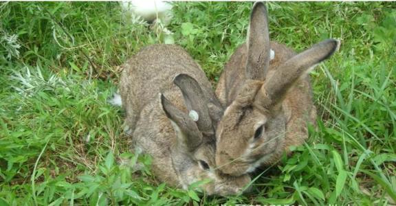 【杂交野兔养殖技术方法】杂交野兔的养殖技术