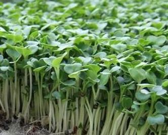 芽菜的种植|芽菜种植方法introduce