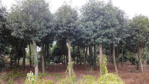 杜英树图片_杜英树栽培技术