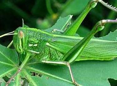 蝗虫的呼吸器管是什么|蝗虫的呼吸器官