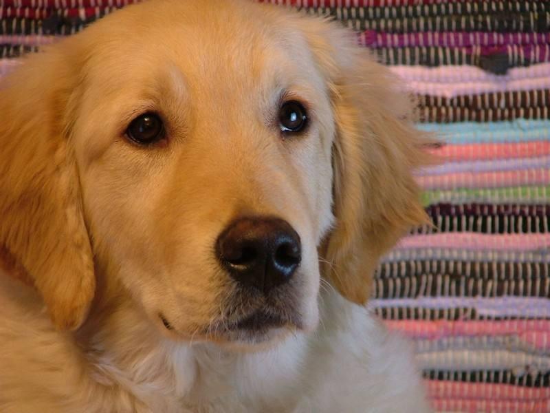 金毛幼犬多少钱一只|小金毛多少钱一只