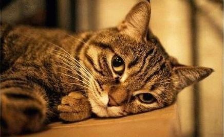 狸花猫的性格